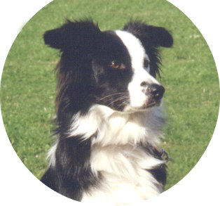 (Image of Border Collie, 'Sheepdog' in British English.)